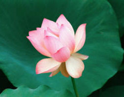 Lotus Flower Right